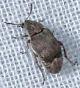 Unknown Beetle - Mimosestes amicus