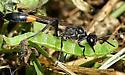 Ammophila or Podalonia - Ammophila - female