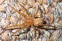 Southeastern Wandering Spider: Anahita punctulata - Anahita punctulata - female