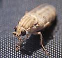 Fly in the Mojave - Apiocera