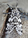 Moth at Northern Virginia Gas Station - Hypercompe scribonia