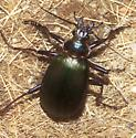 Fiery Searcher? - Calosoma scrutator