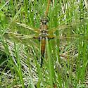 Libellulidae: Libellula quandrimaculata - Libellula quadrimaculata