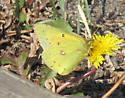 Yellowstone Butterfly - Colias eurytheme - male