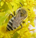 Bee in Cape May - Colletes - female