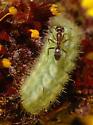Ant - attended caterpillar - Strymon melinus