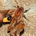 moth - Paonias myops
