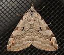 Moth - Aplocera plagiata