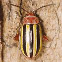 Beetle ID - Disonycha admirabila