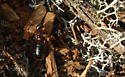 Ant ID - Camponotus novaeboracensis
