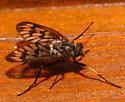 Rhagionidae - Rhagio mystaceus