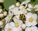 Ladybird beetle - Propylea quatuordecimpunctata