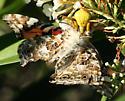 Goldenrod Crab Spider with Large Prey - Misumenoides formosipes - female