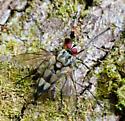 Fly with huge legs - Zelia - male