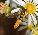 Yellow-faced hover fly - Sphaerophoria contigua