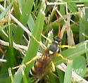 Wasp with long, yellow antennae - Ichneumon ambulatorius - male