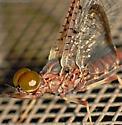 Mayfly - Isonychia velma