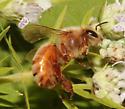 Western Honey Bee, lateral - Apis mellifera - female