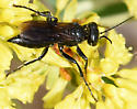 Black wasp - spider hunter? - female