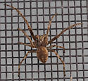spider - Larinioides sclopetarius