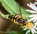 Syrphid fly ?Helophilus - Helophilus fasciatus