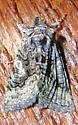 Bean-figured Behrensia - Behrensia conchiformis