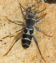 Banded Ash Borer - Neoclytus caprea