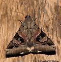 Moth - Melipotis indomita