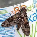Large colorful moth - Agrius cingulata