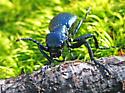 vibrant blue beetle - Meloe angusticollis