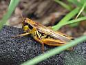 Grasshopper - Melanoplus femurrubrum - female