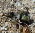 Anthophora Subgenus Heliophila? - Anthophora - female