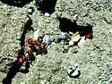 Pogonomyrmex tenuispinus