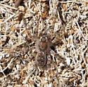 Spider - Arctosa littoralis