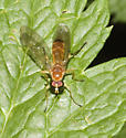 Orange and white fly - Ptecticus trivittatus