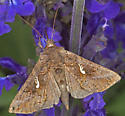 Moth - Autographa precationis
