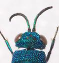 Pinned Specimen - Caenochrysis - female