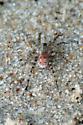 Camouflaged Beach Spider - Arctosa