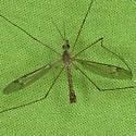 Tipula Crane Fly ZH3Z6792 - Tipula - male