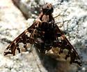 Xenox habrosus