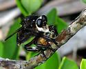 Southern Bee Killer? - Mallophora atra