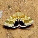 Golden Aster Flower Moth - Hodges #11116 - Schinia tuberculum