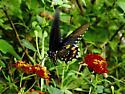 Swallowtail (Eastern Black??) - Battus philenor