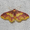 Stained Lophosis - Hodges#7181 - Lophosis labeculata - female