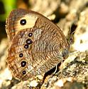 Butterfly - Cercyonis pegala - female