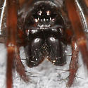 Eye Arrangement - Cybaeus - female