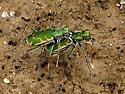 Aridlands Tiger Beetle - Ellipsoptera marutha - Ellipsoptera rubicunda - male - female