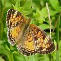 Northern Crescent? - Phyciodes tharos - female