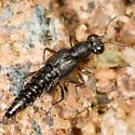Rove Beetle ? - Stenus