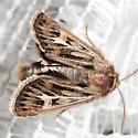 Moth - Cerapteryx graminis